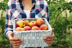 Man holding a wicker basket of ripe apples stock images
