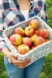 Man holding a wicker basket of ripe apples royalty free stock photography