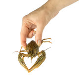 Man holding wild crayfish in hand Royalty Free Stock Photos