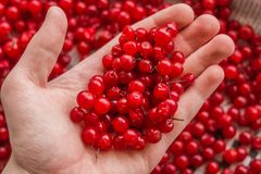 Man holding wild forest berries red currant. Healthy eating, vegetarian food and people concept - close up of young man hands hold royalty free stock image