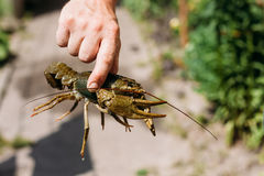 Man holding wild Signal crayfish Stock Photos