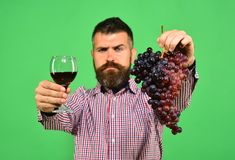 Man holds bunch of grapes and glass of wine. Man with beard holds bunch of grapes and glass of wine isolated on green background. Winemaking and autumn concept Royalty Free Stock Images