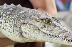 A man holds a crocodile. The snout of a crocodile Stock Image