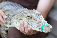 A man holds a crocodile. Royalty Free Stock Photo