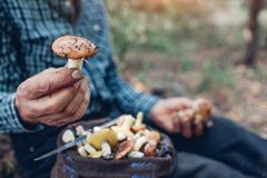 Man holds an handful of oily mushrooms Royalty Free Stock Images