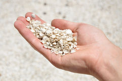A man holds handful of sea shells, Shell Beach, Western Australia Royalty Free Stock Image