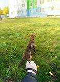 A man holds a low mongrel dog on a leash on the grass in the city, a first person view Stock Photo