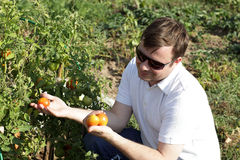 Man holds tomatoes Royalty Free Stock Photography