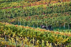 A man in a horse-drawn carriage, moving through the autumn vineyards. South Moravia. Czech Republic. stock photo