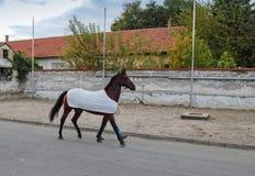 Man horse walking along Royalty Free Stock Image