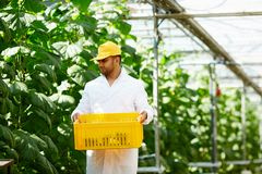 Man in hothouse. Hothouse staff in uniform carrying plastic box with fresh vegetables while picking up cucumbers royalty free stock photography