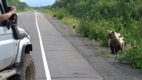 Man i av-väg bilforsar av brunbjörnen som tigger mat från folk stock video