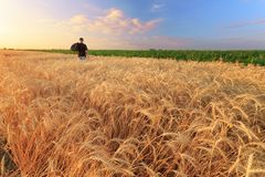 Man In Wheat Field Sunset Stock Photography