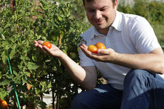 Man inspectes tomatoes Royalty Free Stock Photography