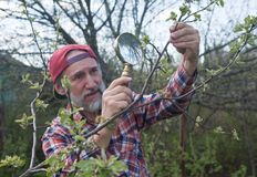 A man inspects apple tree branch Royalty Free Stock Photo