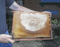 A man holds in his hands a frame of honeycombs stock images