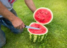 Man in jeans kneels on the grass, cutting with a knife a red ripe watermelon for a summer family dinner royalty free stock photos