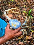 A man in the jungle outside of Monkey River, Belize, holding a blue land crab, or Cardisoma guanhumi. royalty free stock photo