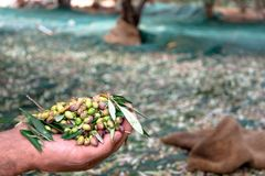Man keeps some of the harvested fresh olives in a field in Crete, Greece for olive oil production, using green nets.  Stock Photos