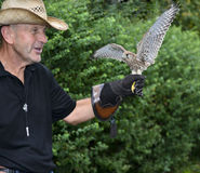 Man with kestrel. On hand flies to freedom Royalty Free Stock Images