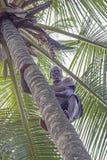 Man klättringpalmträdet för att samla de mogna kokosnötterna Fotografering för Bildbyråer