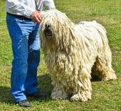 Man with a komondor dog Stock Photos