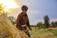 Man Laborer harvesting wheat Royalty Free Stock Photography