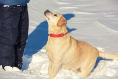 A man with a Labrador retriever dog walks on the snow stock photo
