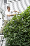 Man on Ladder Trimming A Climbing Vine Stock Images