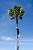 Man on ladder trimming tall palm tree Stock Photos