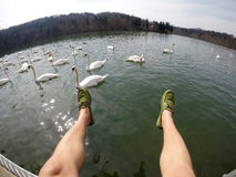Man lags above water feeding swans Royalty Free Stock Photography