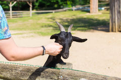 Man and lamb or goat in the farm Royalty Free Stock Photo