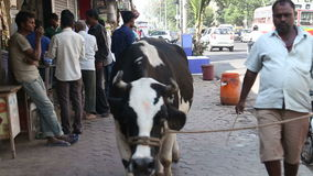 Man leading a cow on a leash through a busy street in Mumbai. MUMBAI, INDIA - 9 JANUARY 2015: Man leading a cow on a leash through a busy street in Mumbai stock video