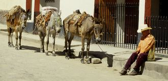 Man Leading Mules in Honduras Royalty Free Stock Photos