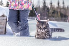Man leads a cat on a leash. stock photography
