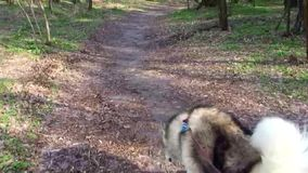 Man leads Malamute dog on leash along forest trail. stock footage