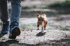 A man leads a small dog of the Chihuahua breed on a leash. The dog goes near the legs