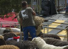 Man lifting a big fluffy white sheep for shearing in a sunny day during a Swiss French festival. Traditional Swiss French festival called Dèsalpe during which Stock Photo