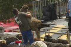Man lifting a big fluffy white sheep for shearing in a sunny day during a Swiss French festival. Traditional Swiss French festival called Dèsalpe during which Royalty Free Stock Images