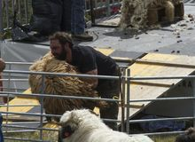 Man lifting a big fluffy white sheep for shearing in a sunny day during a Swiss French festival. Traditional Swiss French festival called Dèsalpe during which Royalty Free Stock Photos