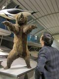 Man looking at stuffed bear in royal belgian institute of natural sciences. Stuffed bear attacks in museum stock images
