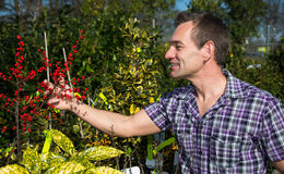 Man looks at bush full of berries in nursery Stock Photography