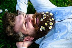 Man looks nicely with daisy or chamomile flowers in beard, close up. Hipster on happy face lays on grass. Masculinity. Concept. Macho with beard and mustache Royalty Free Stock Images