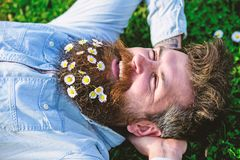 Man looks nicely with daisy or chamomile flowers in beard, close up. Hipster on happy face lays on grass. Masculinity. Concept. Macho with beard and mustache royalty free stock photography