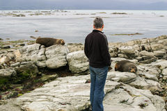 Man looks at resting fur seals. Kaikoura, New Zealand Stock Images