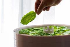 Man& x27; mão de s que guarda a folha verde fresca da manjericão sobre o secador da erva Imagem de Stock