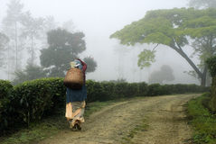 Man made landscapes-Tea plantations Stock Images