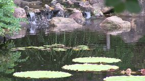 Man made waterfall in a landscaped Japanese style garden in Australia, with Amazonian Waterlily featured. This pond, and the surrounding garden, got built for stock video footage