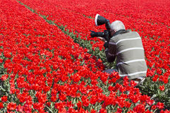 Man making photos in red tulip field Stock Photography