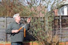 Man med att beskära sax som kontrollerar en buske. royaltyfri foto